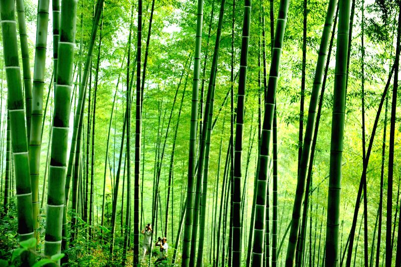 Tourists travel among the bamboo forest in Huoshan County, east China's Anhui Province, Sept. 3, 2014. Huoshan, hometown of bamboo, has developed into a manufacturing