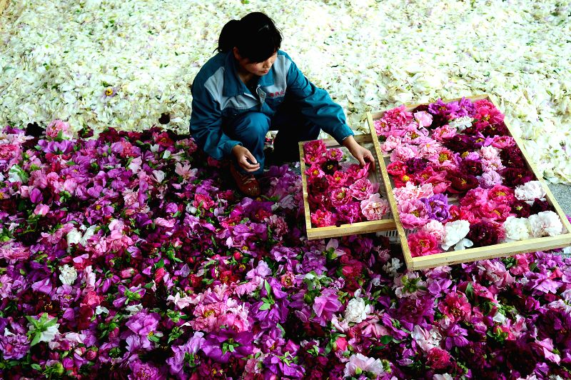 A worker sorts out peony flowers to make herbal tea at a workshop in Heze City, east China's Shandong province, April 16, 2014. Heze, growing about 30,000 hectares of