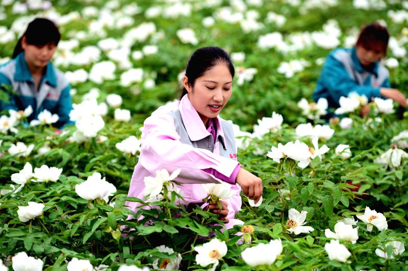 People havest peony petals in Heze City, east China's Shandong province, April 16, 2014. Heze, growing about 30,000 hectares of peony, is the hometown of the flower, .