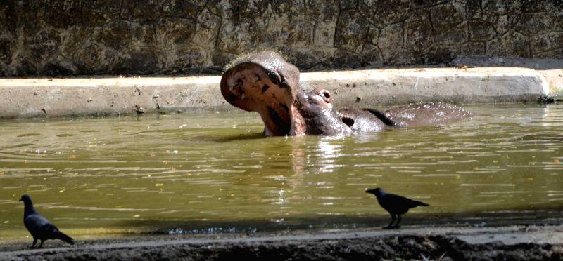 Hippopotamus at Jijamata Udyaan in Mumbai on April 28, 2014.