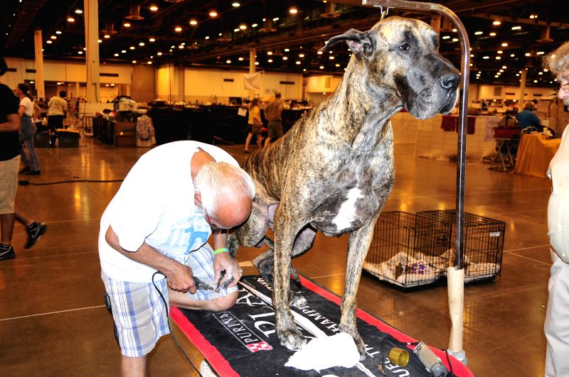 A groomer works on a Great Dane during the 37th Annual Houston World Series of Dog Shows in Houston, the United States, July 16, 2014. The five-day show kicked off .