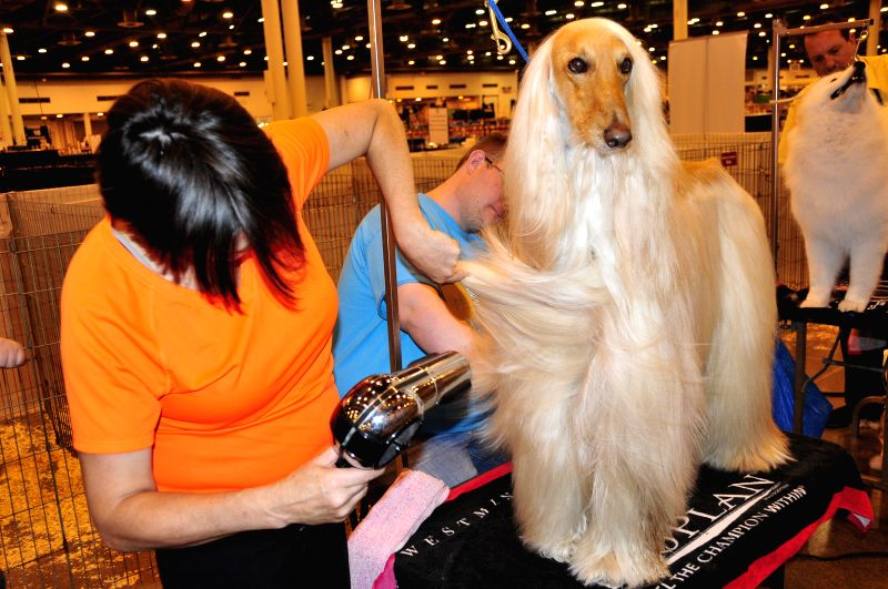 A groomer works on an Afghan Hound during the 37th Annual Houston World Series of Dog Shows in Houston, the United States, July 16, 2014. The five-day show kicked ..