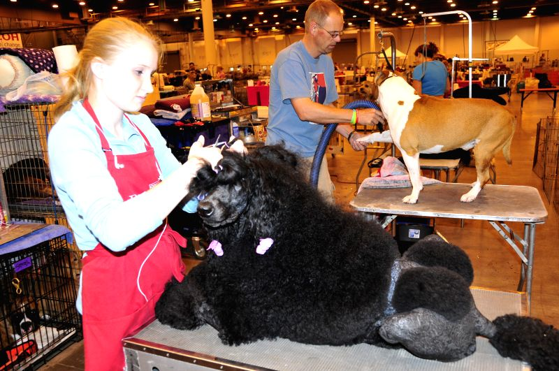 Groomers work during the 37th Annual Houston World Series of Dog Shows in Houston, the United States, July 16, 2014. The five-day show kicked off on Wednesday. ...