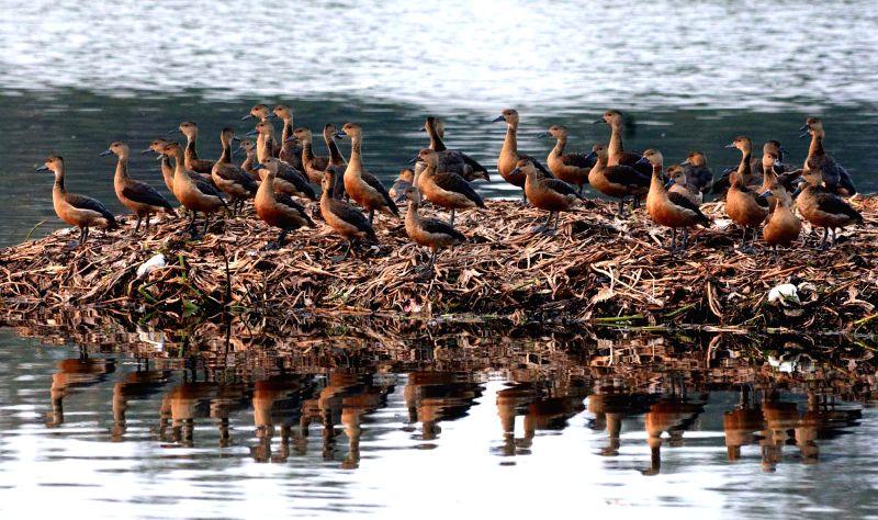 Migratory birds arrive at Santragachi Jheel in Howrah, near Kolkata on Nov 18, 2014.