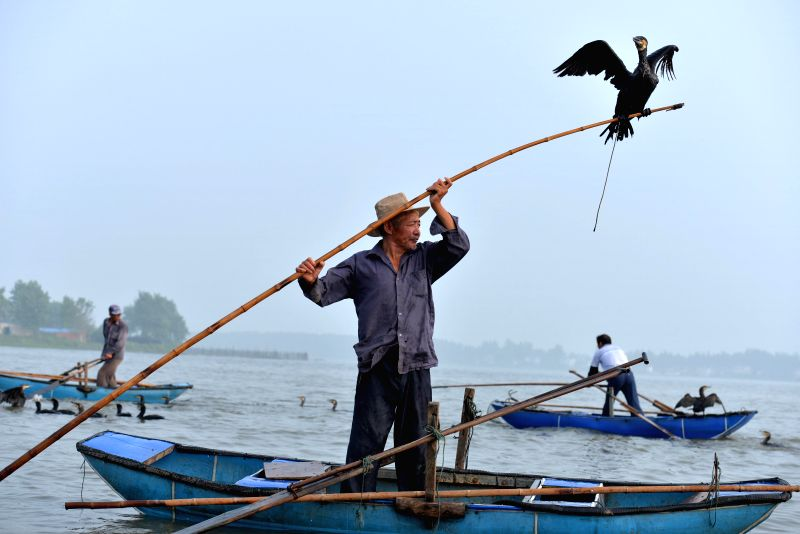 HUAI'A fisherman catches fish with cormorants on Baima Lake in Hongze County, east China's Jiangsu Province, July 28, 2014. Fishing with tamed cormorants is a ...