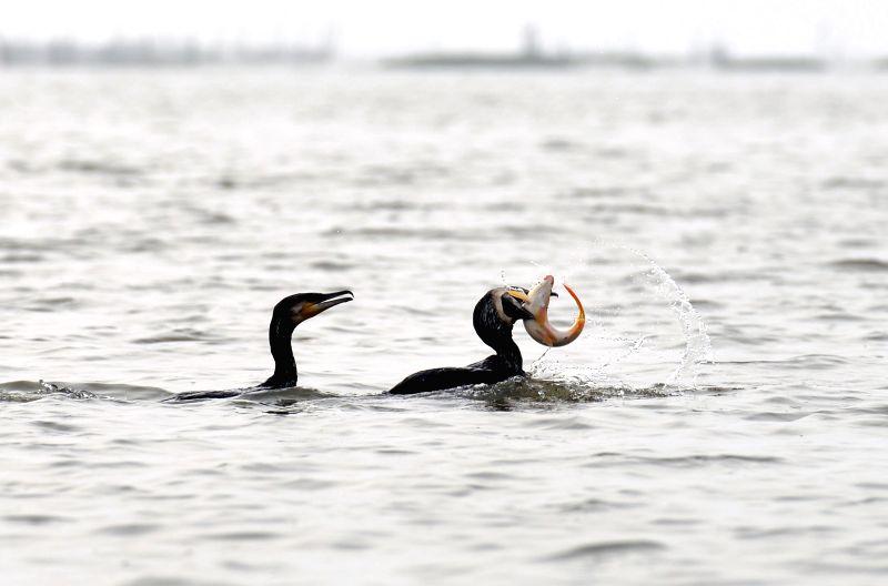 HUAI'Two cormorants catch fish in Baima Lake of Hongze County, east China's Jiangsu Province, July 28, 2014. Fishing with tamed cormorants is a traditional fishing ...