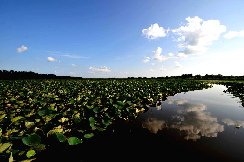 Photo taken on Aug. 14, 2014 shows lotus in Crescent Lake in Hulin, northeast China's Heilongjiang Province. The Crescent Lake here, covering an area of more than ...