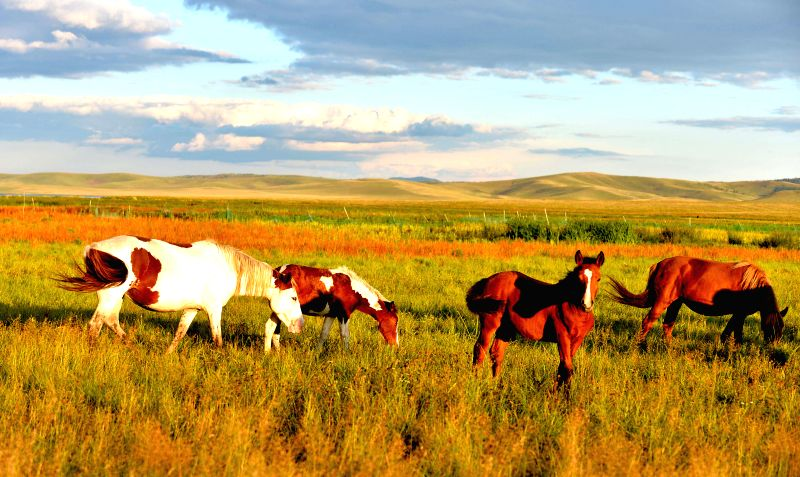 Horses eat on the grassland of Hulun Buir, north China's Inner Mongolia Autonomous Region, Aug. 21, 2014.