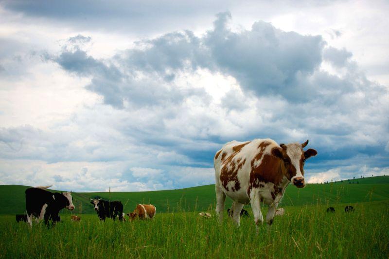 The livestock graze on the grassland of Hulun Buir, north China's Inner Mongolia Autonomous Region, June 17, 2014. Grass has been flourishing in Hunlun Buir due .