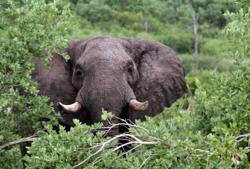 An adult elephant is seen inside Hwange National Park in western Zimbabwe, Dec. 20, 2014. Zimbabwean and some international animal welfare groups were lately calling .
