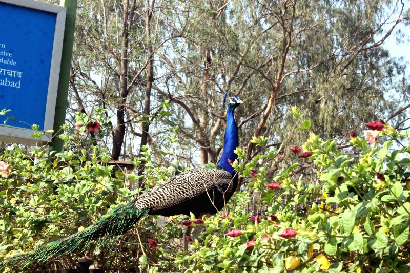 A peacock at Kasu Brahmananda Reddy (KBR) National Park in Hyderabad on March 28, 2015. - Kasu Brahmananda Reddy