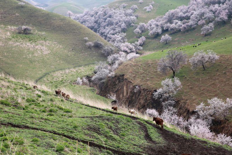 Apricot flowers bloom in Turgen Township of Xinyuan County in Ili Kazakh Autonomous Prefecture, northwest China's Xinjiang Uygur Autonomous Region, April 13, 2014. ...