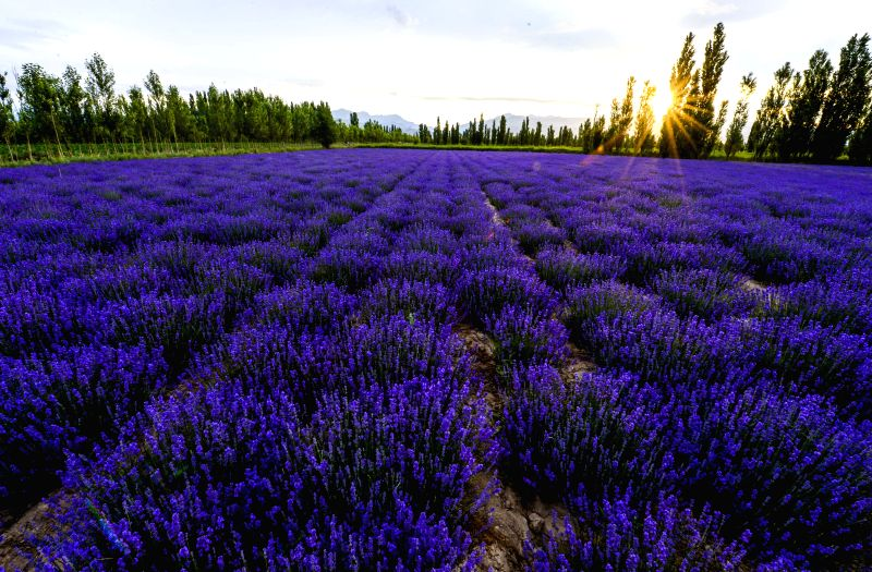 Photo taken on June 18, 2014 shows the lavender fields in Huocheng County of Kazak Autonomous Prefecture of Ili, northwest China's Xinjiang Uygur Autonomous Region. ...