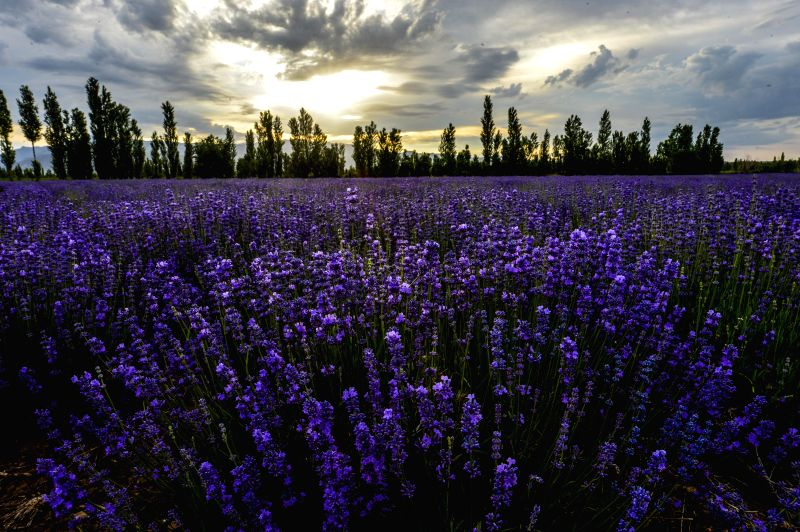 Photo taken on June 19, 2014 shows the lavender fields in Huocheng County of Kazak Autonomous Prefecture of Ili, northwest China's Xinjiang Uygur Autonomous Region. ...
