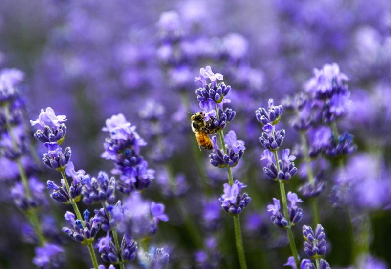 A bee drones among the lavender fields in Huocheng County of Kazak Autonomous Prefecture of Ili, northwest China's Xinjiang Uygur Autonomous Region, June 20, 2014. Over