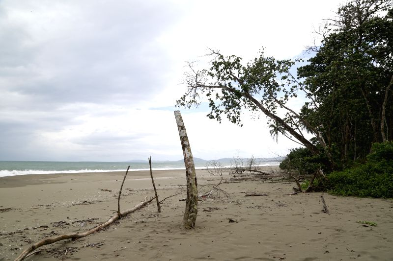 Image taken on Nov. 24, 2015 shows a dead tree on an eroded beach of Cahuita National Park, in Limon Province, southern Costa Rica. According to the ranger Cristian ...