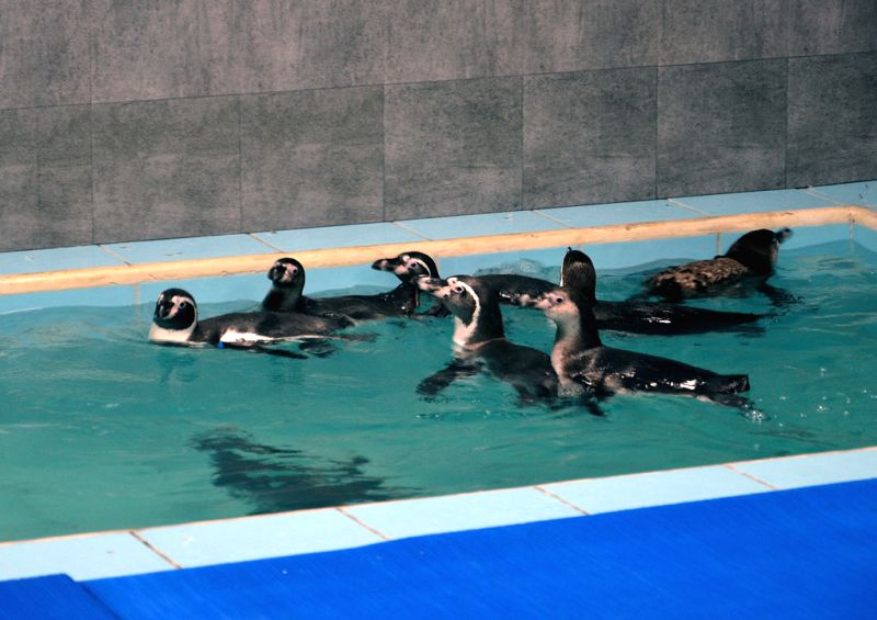 India\'s first tiny colony of Humboldt Penguins relax in their special enclosure after a flight from a Seoul, South Korea zoo, to Mumbai\'s Veermata Jijabai Bhosale Udyan (Zoo), early on Tuesday.