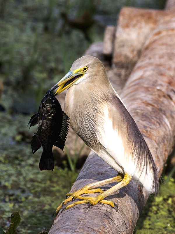 Indian Pond Heron holds a fish in its beak at Mandore in Jodhpur on May 13, 2017.