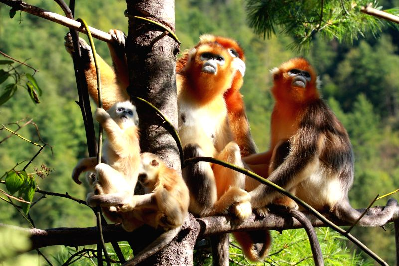 ISTANBUL, July 17, 2016    File photo provided by the UNESCO official website shows golden monkeys at Shennongjia in central China's Hubei. The 40th session of the World Heritage Committee ...