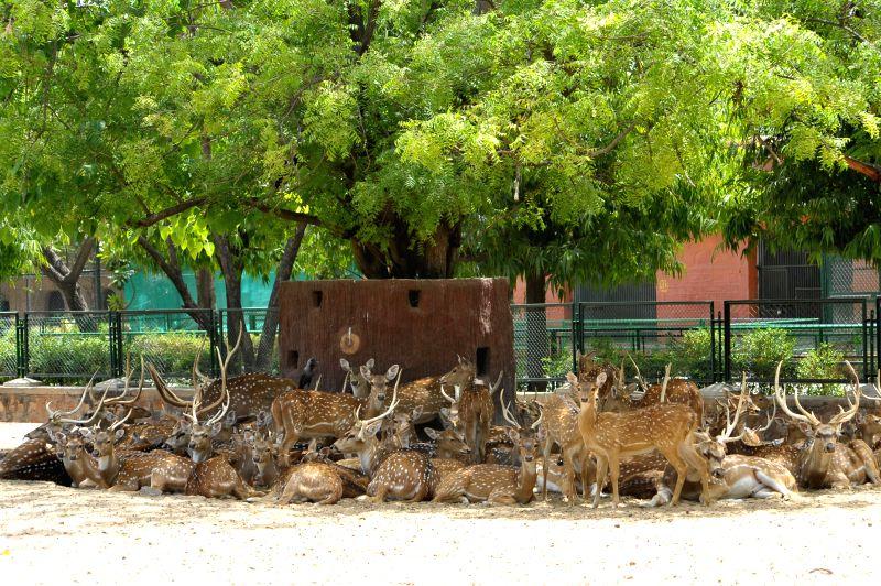 A flock of deer take shelter under a tree  in Jaipur, on April 22, 2015.