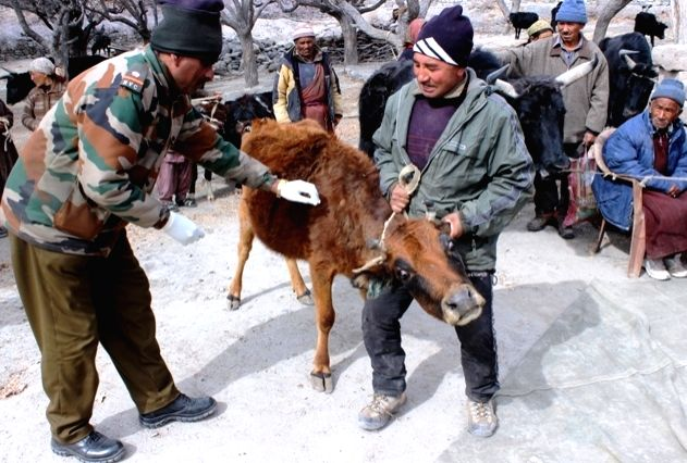 Jammu and Kashmir: A calf being taken to a veterinary camp run by the Siachen Brigade at a Jammu and Kashmir village on March 31, 2015.