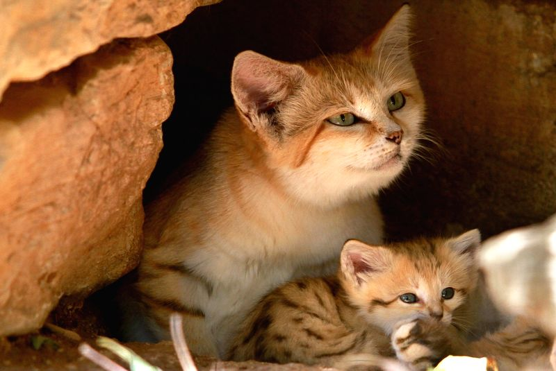 JERUSALEM, May 30, 2016 - Rotem, the sand cat with her cubs, born three weeks ago, is seen at the Ramat Gan Safari near Tel Aviv, Israel on May 30, 2016. The pure sand cat is in extreme danger of ...