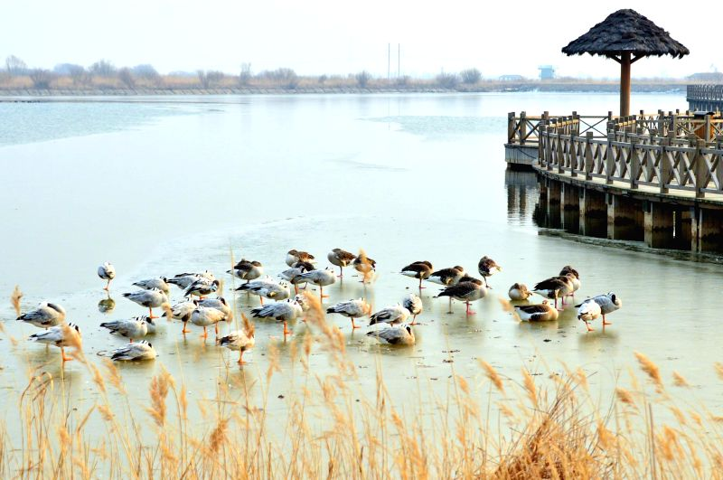 JI'Migratory birds are seen at the Yellow River Delta Nature Reserve in east China's Shandong Province, Dec. 21, 2014.