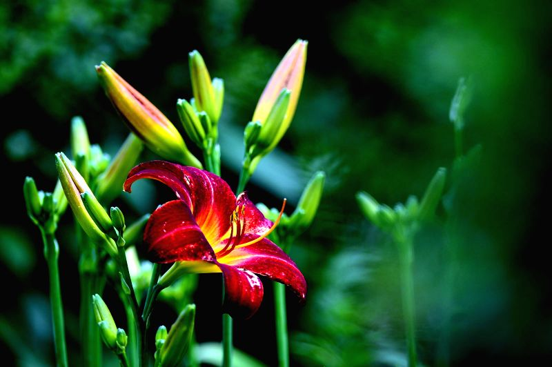 Photo taken on June 18, 2014 shows a lily in blossom at Quancheng Park in Jinan, capital of east China's Shandong Province.