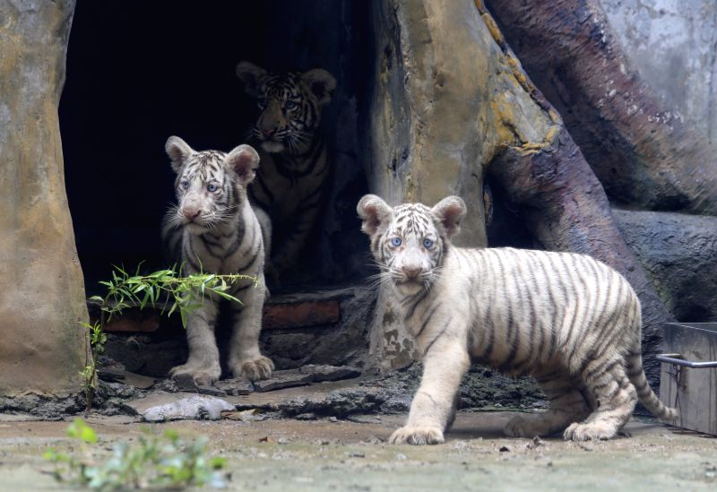 JINAN, Sept. 6, 2017 - Tiger triplets meet the public at the Jinan Zoo in Jinan, capital of east China's Shandong Province, Sept. 6, 2017. Cong Cong, a 6-year-old Bengal tiger mother, gave birth to ...