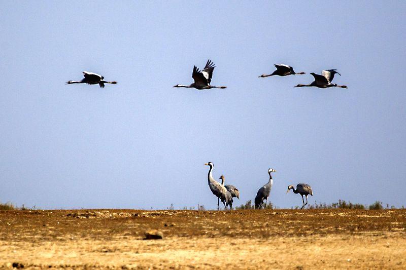 Grey cranes fly over the lakeside of the Poyang Lake in Jiujiang City, east China's Jiangxi Province, Jan. 8, 2015. The Poyang Lake, China's largest freshwater ...