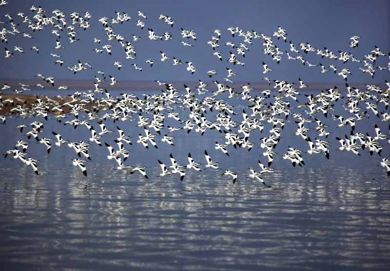 Pied avocets fly over the Poyang Lake in Jiujiang City, east China's Jiangxi Province, Jan. 8, 2015. The Poyang Lake, China's largest freshwater lake, witnessed the