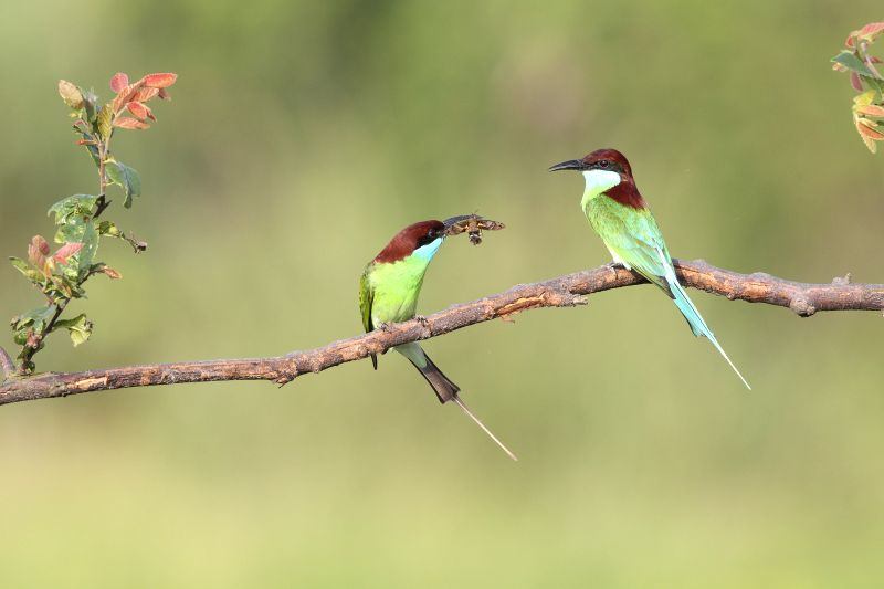 Blue-throated bee-eaters, or Merops viridis, rest on a tree branch by the Poyang Lake in Jiujiang city, east China's Jiangxi Province, June 14, 2015. The ...