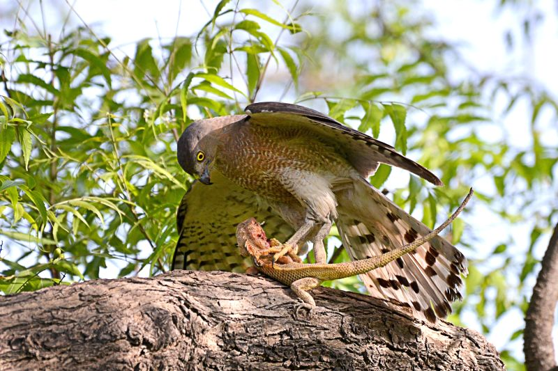 Jodhpur : Shikra - a bird from the family Accipitridae hunts a garden lizard in Jodhpur on May 9, 2017.