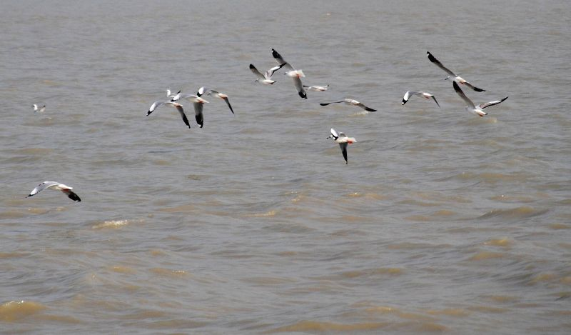Seagulls fly above the Hoogly river in Kakdwip, 110km south of Kolkata on Jan 12, 2015.