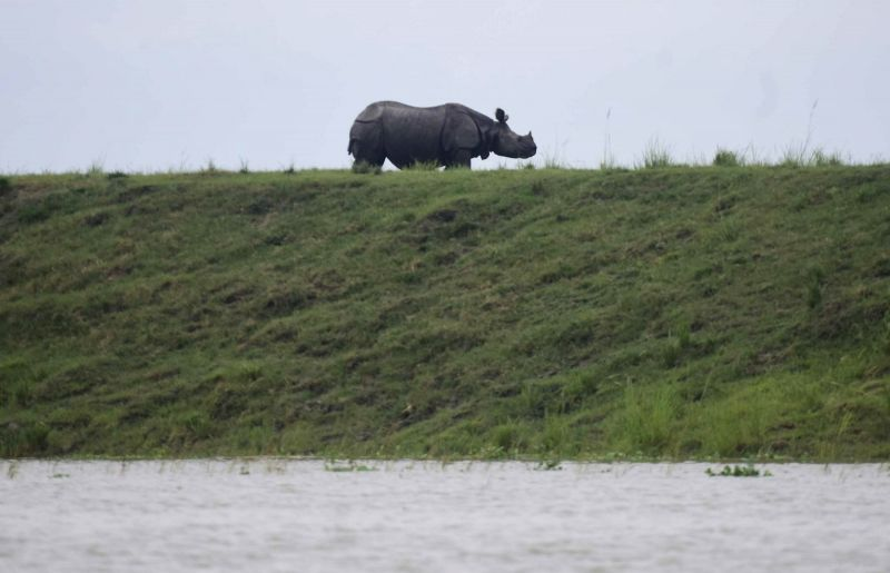 Kanchanjuri: A one-horned Rhino takes refuge from flood waters on a highland at the flood affected Kaziranga National Park in Assam's Kanchanjuri, on July 13, 2019.