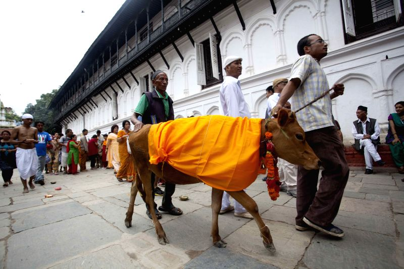 A man takes a cow for prayers during the Gaijatra Festival, or festival of cows, in Kathmandu, Nepal, Aug. 11, 2014. Hindus celebrated the festival to honour cows