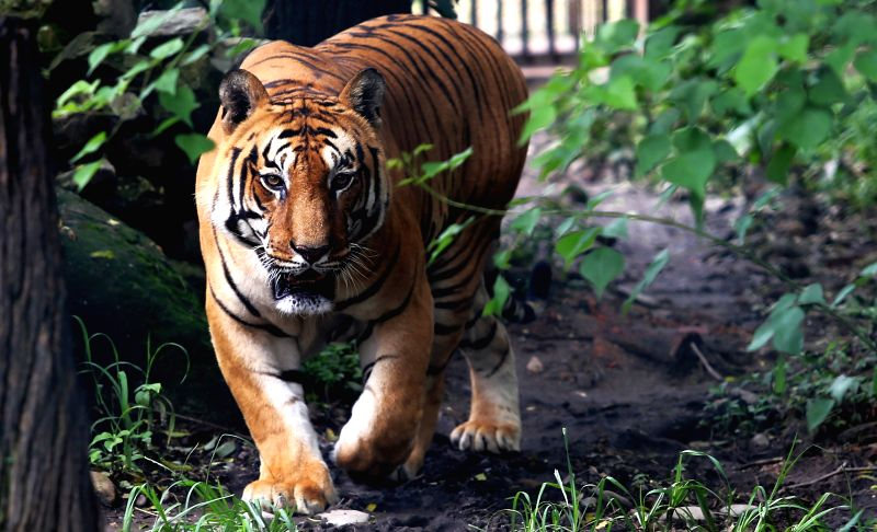 KATHMANDU, July 29, 2016 - A Royal Bengal Tiger roams at Central Zoo on International Tiger day in Jawalakhel in Kathmandu, Nepal, July 29, 2016. International Tiger day is celebrated annually on ...