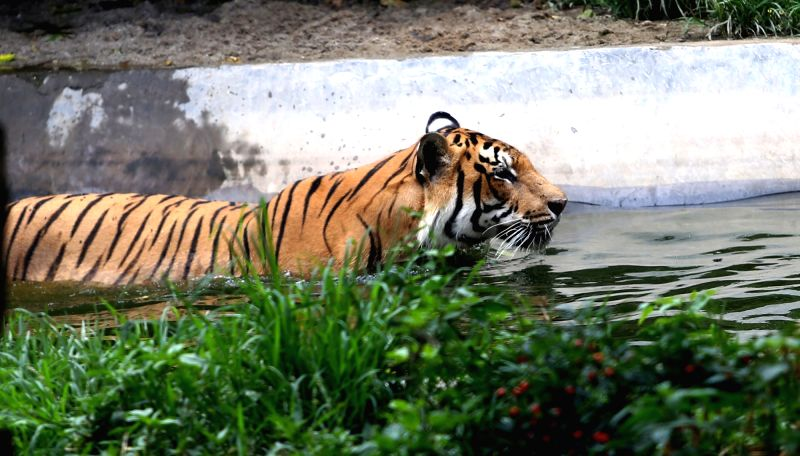 KATHMANDU, July 29, 2017 - A Royal Bengal Tiger cools itself at Central Zoo on International Tiger day in Kathmandu, Nepal, July 29, 2017.