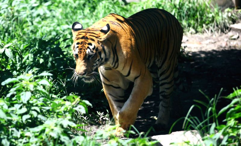 KATHMANDU, July 29, 2018 - A Royal Bengal Tiger roams at the Central Zoo of Jawalakhel in Kathmandu, Nepal, July 29, 2018, the International Tiger Day.
