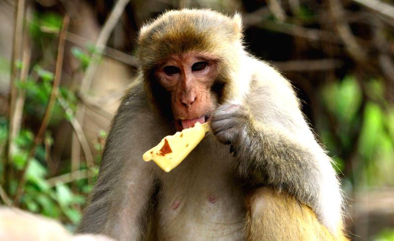 KATHMANDU, June 3, 2016 - A monkey enjoys an ice-cream to beat the heat at Swayambhunath (Monkey temple) in Kathmandu, Nepal, June 3, 2016. Kathmandu valley faces an unprecedented and premature heat ...