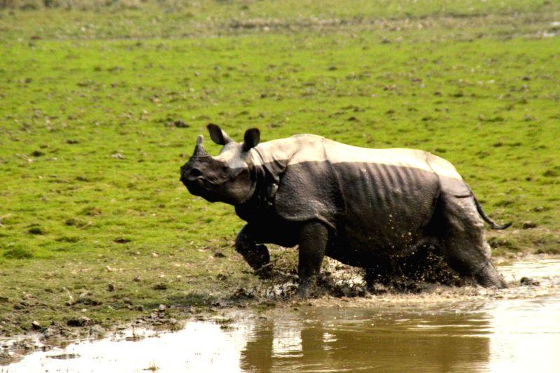 A one-horned rhinoceros grazes in the wild at Kaziranga National Park in Assam on Nov 24, 2014.