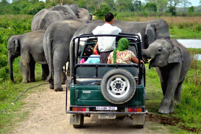 An elephant calf plays with tourists at Bagori range of Kaziranga National Park, Assam on April 27, 2015.