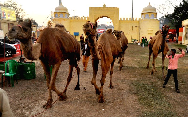 Camels at Lok Sanskriti Rajasthani Mela in Kolkata, on Dec 27, 2014.