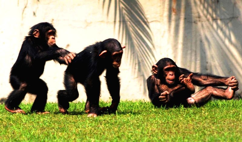 Chimpanzees enjoy themselves in their enclosure at the Alipore Zoological Gardens in Kolkata, on Feb 20, 2015.