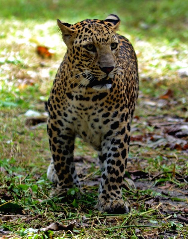 Kolkata: One of the two leopards that were shifted to the Alipore Zoological Gardens from Siliguri's Bengal Safari Park, takes a stroll inside its enclosure in Kolkata on July 29, 2019.