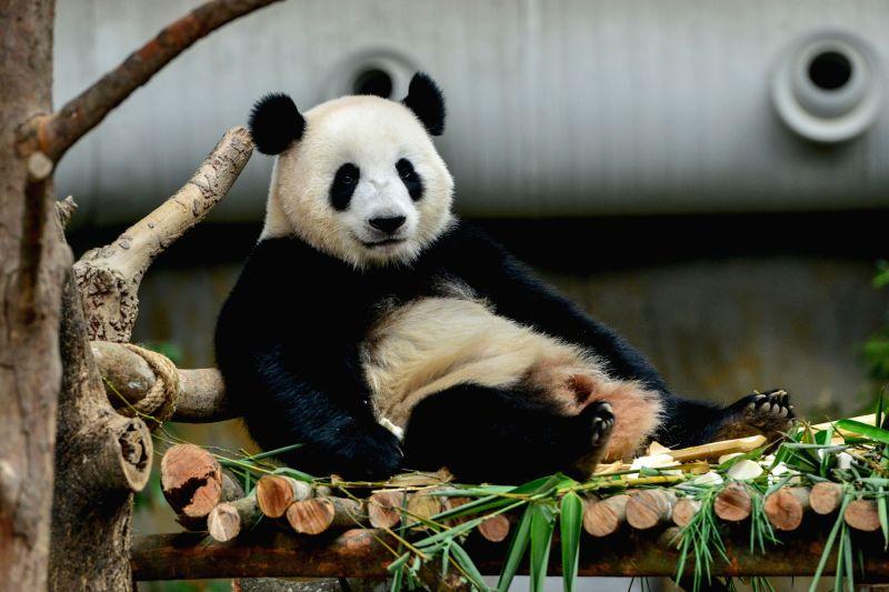 KUALA LUMPUR, Oct. 5, 2017 - Giant panda Nuan Nuan is seen at Malaysia's national zoo in Kuala Lumpur, Malaysia, on Oct. 5, 2017. Nuan Nuan (meaning warmth in Chinese), the first Malaysian-born ...