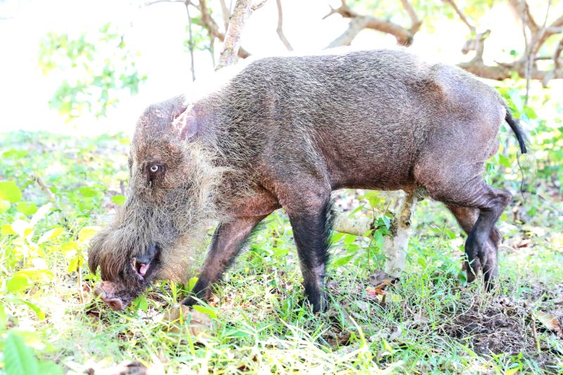 KUCHING, July 19, 2018 - Photo taken on July 19, 2018 shows a wild boar at the Bako National Park in east Malaysia's Sarawak state. Established in 1957, the Bako National Park offers the perfect ...