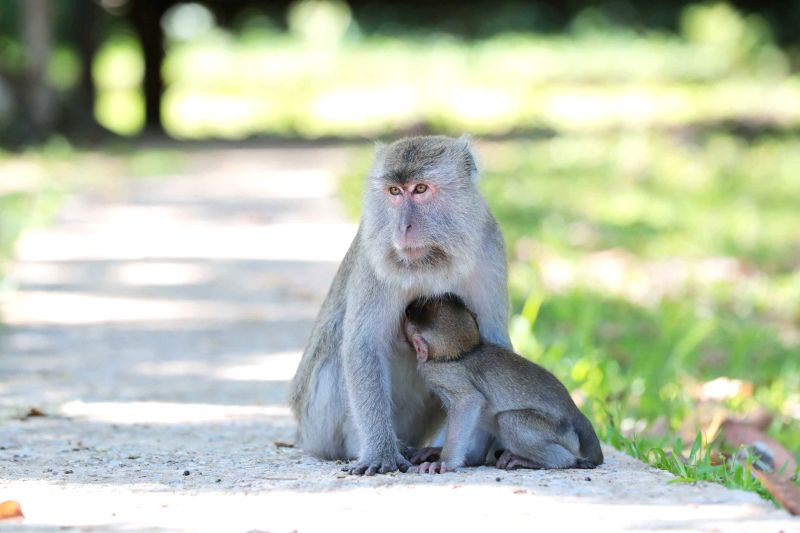 KUCHING, July 19, 2018 - Photo taken on July 19, 2018 shows the macaque monkeys at the Bako National Park in east Malaysia's Sarawak state. Established in 1957, the Bako National Park offers the ...