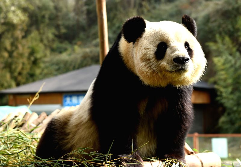 Giant panda Sijia enjoys sunshine at the Yunnan Safari Park in Kunming, capital of southwest China's Yunnan Province, Feb. 11, 2015. The city's temperature arrived .