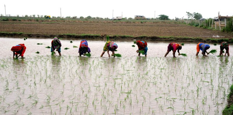 Laborers transplant paddy saplings in a field located on the outskirts of Ahmedabad on July 19, 2014.